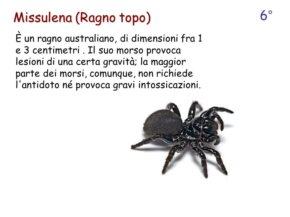 È un ragno australiano, di dimensioni fra 1 e 3 centimetri. Il suo morso provoca lesioni di una certa gravità; la maggior parte dei morsi, comunque, n
