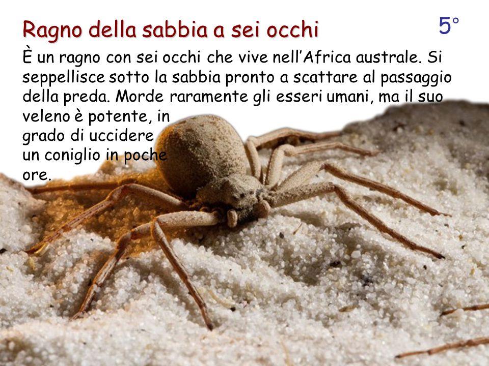 È un ragno con sei occhi che vive nell'Africa australe. Si seppellisce sotto la sabbia pronto a scattare al passaggio della preda. Morde raramente gli