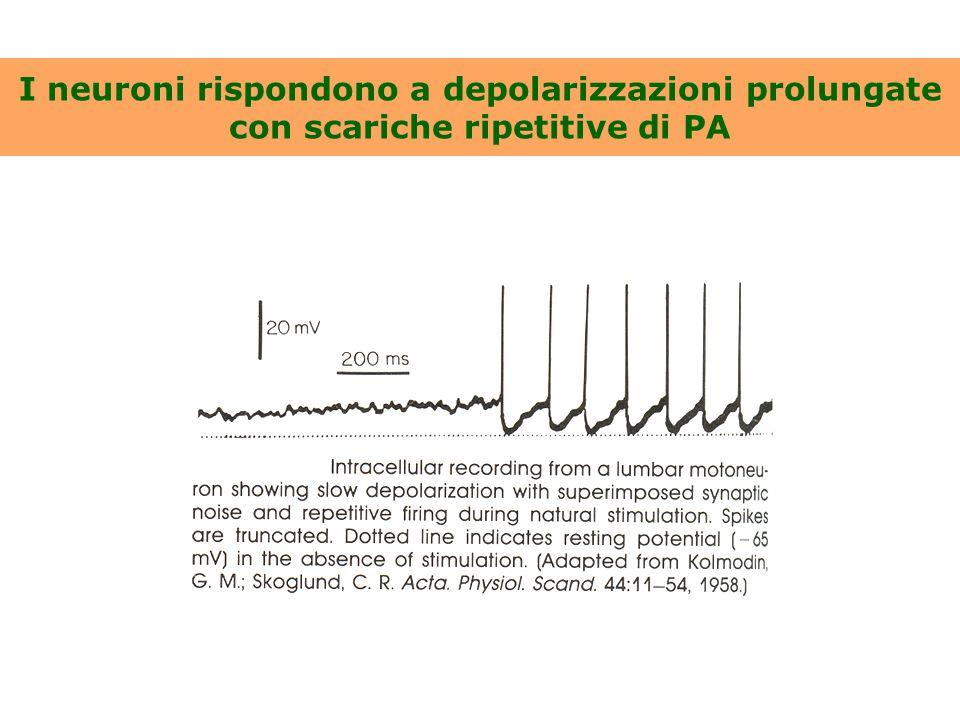 I neuroni rispondono a depolarizzazioni prolungate con scariche ripetitive di PA