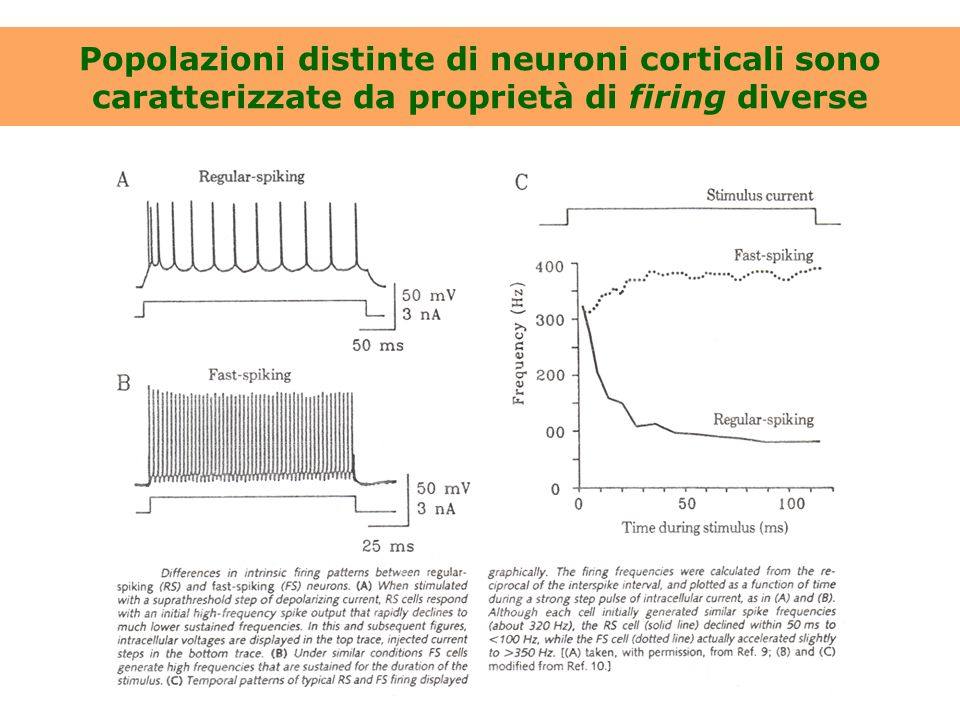 Popolazioni distinte di neuroni corticali sono caratterizzate da proprietà di firing diverse