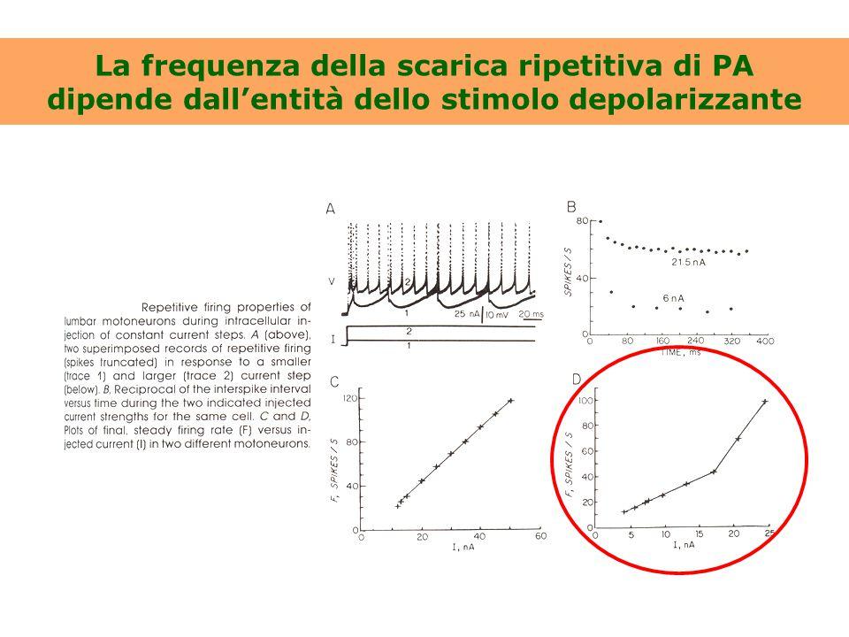 La frequenza della scarica ripetitiva di PA dipende dall'entità dello stimolo depolarizzante