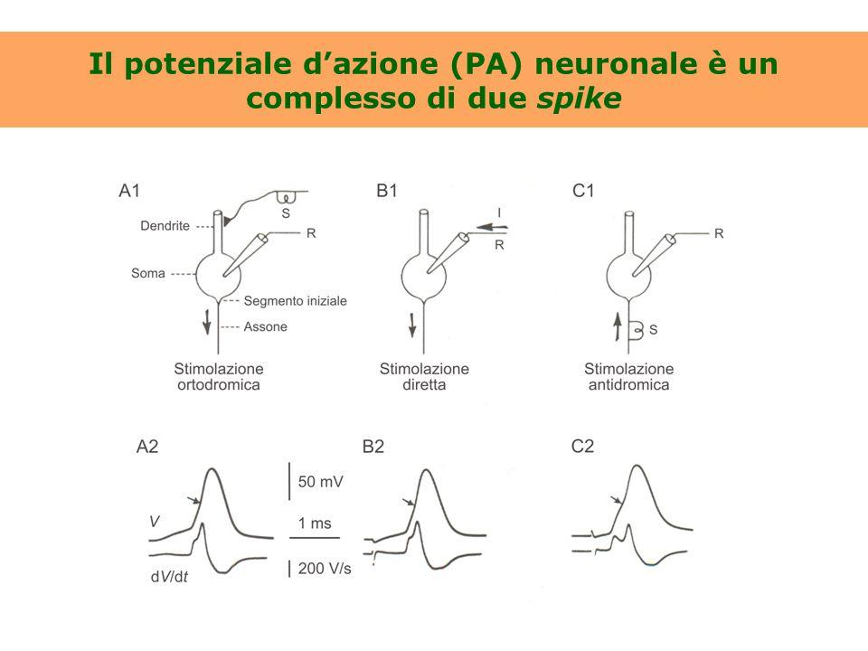 In molti neuroni il range secondario è a gain minore rispetto al range primario [Da Llinás & Jahnsen, 1982]