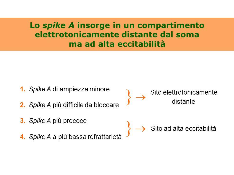 Lo spike A insorge in un compartimento elettrotonicamente distante dal soma ma ad alta eccitabilità 1.Spike A di ampiezza minore 2.Spike A più diffici