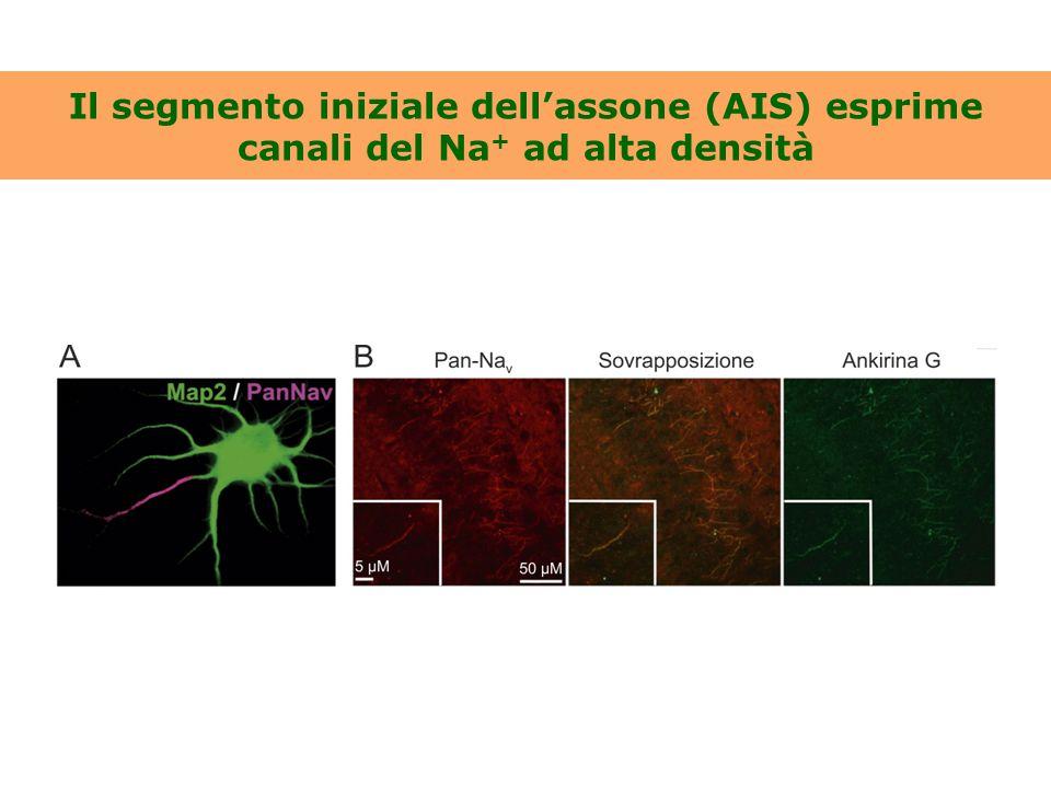 Il segmento iniziale dell'assone (AIS) esprime canali del Na + ad alta densità