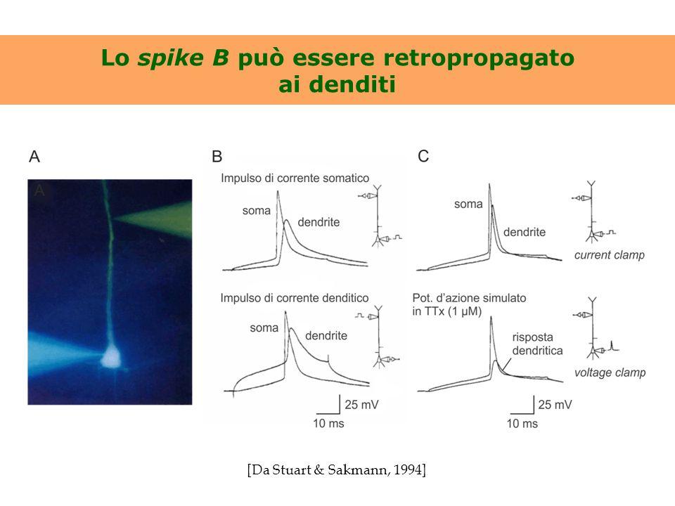 Lo spike B può essere retropropagato ai denditi [Da Stuart & Sakmann, 1994]