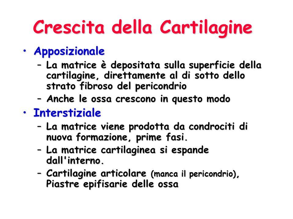 Crescita della Cartilagine ApposizionaleApposizionale –La matrice è depositata sulla superficie della cartilagine, direttamente al di sotto dello stra