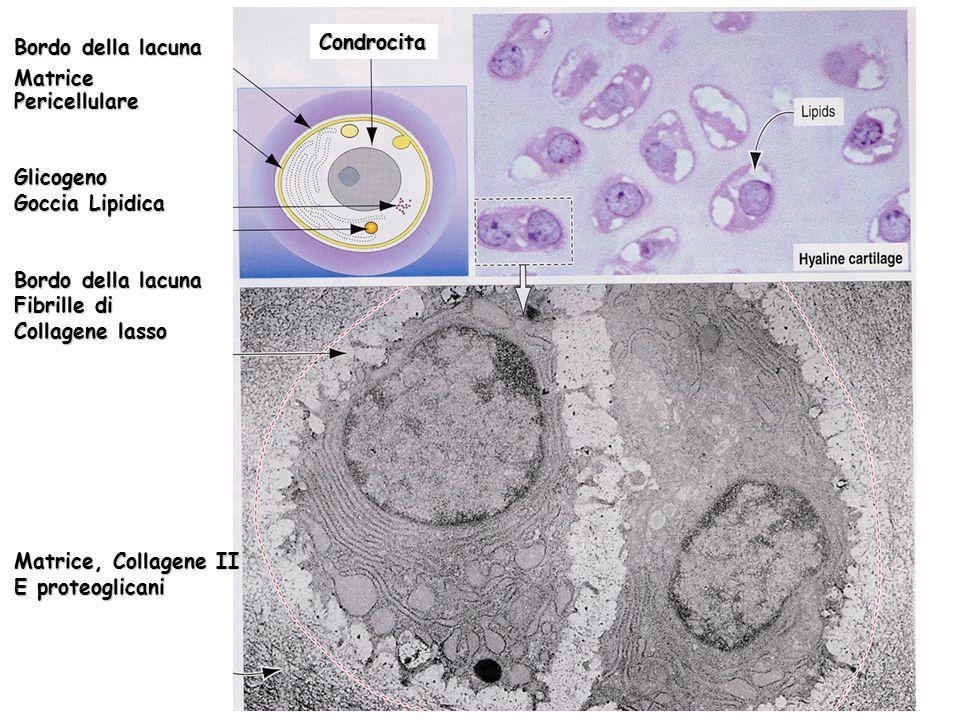 Bordo della lacuna MatricePericellulareGlicogeno Goccia Lipidica Bordo della lacuna Fibrille di Collagene lasso Matrice, Collagene II E proteoglicani