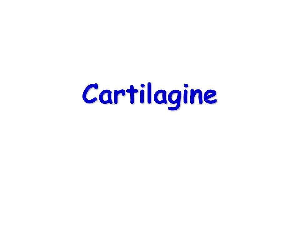 TipoCaratteristichePericondrioLocazione Ialina Collagene II, matrice basofila, condrociti in gruppi Presente, tranne che in articolare e epifisi Articolazioni ossa lunghe, naso, laringe, trachea, bronchi, costole Fibrosa Collagene I, matrice acidofila, condrociti in fibre parallele tra i fasci di collagene, associati a connettivo denso regolare fibroso o c.