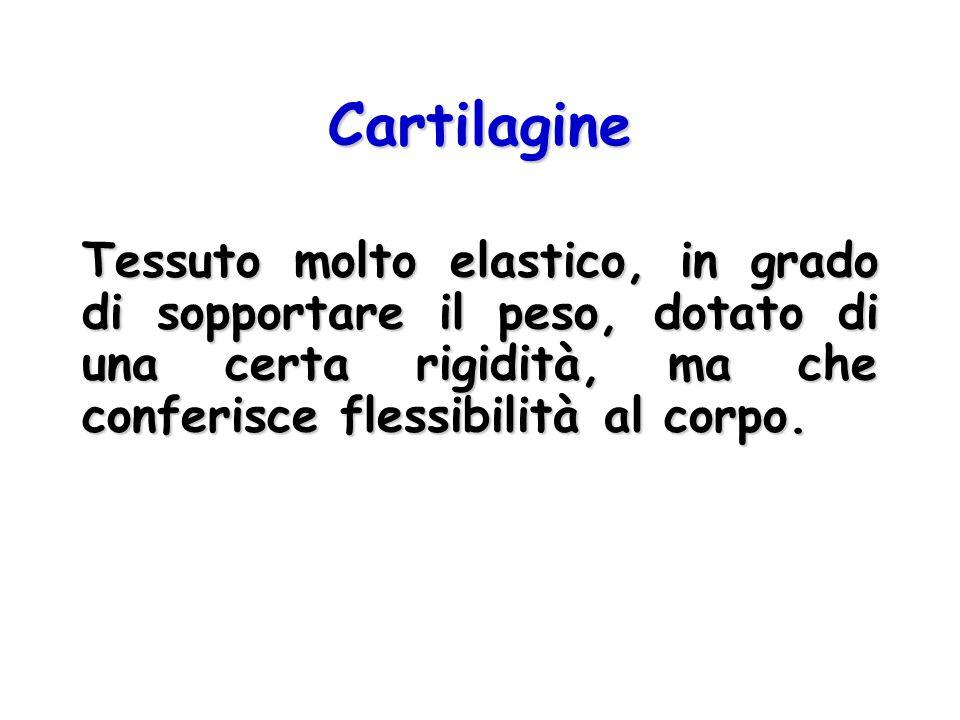 Composizione della Cartilagine Sostanza fondamentaleSostanza fondamentale –Glicosaminoglicani e Proteoglicani –Non calcificata CelluleCellule –Condrociti, condroblasti –Secernono la matrice e le fibre FibreFibre –Collagene, elastina