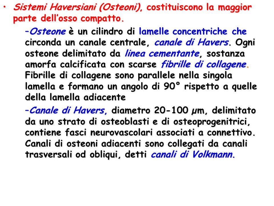 Sistemi Haversiani (Osteoni), costituiscono la maggior parte dell'osso compatto.Sistemi Haversiani (Osteoni), costituiscono la maggior parte dell'osso