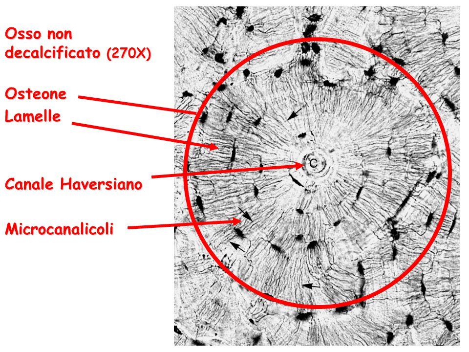Osso non decalcificato (270X) OsteoneLamelle Canale Haversiano Microcanalicoli