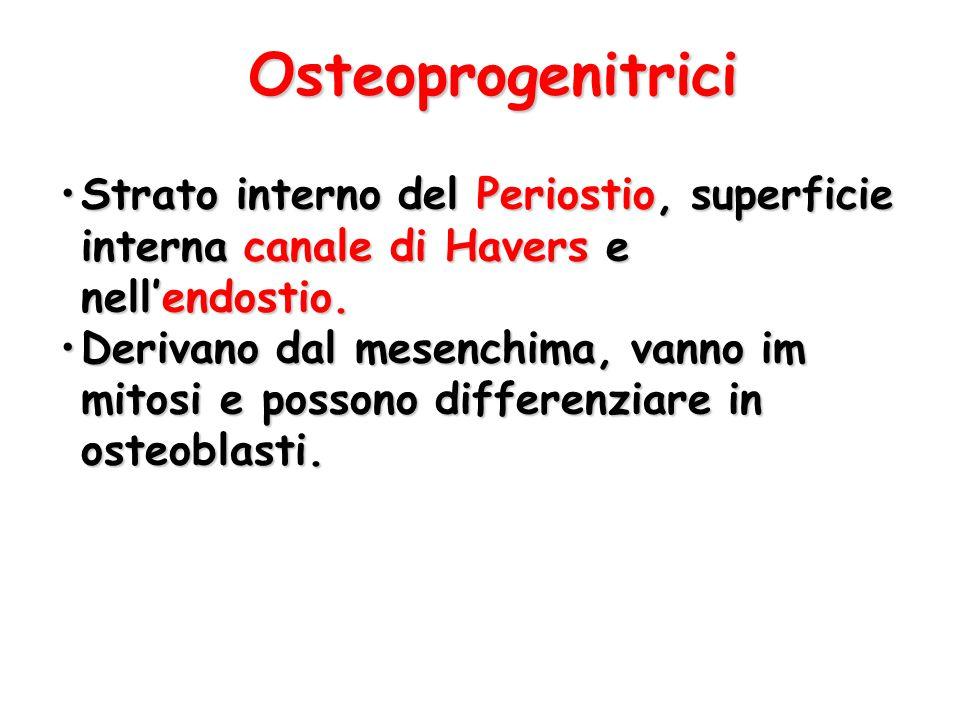 Osteoprogenitrici Strato interno del Periostio, superficie interna canale di Havers e nell'endostio.Strato interno del Periostio, superficie interna c