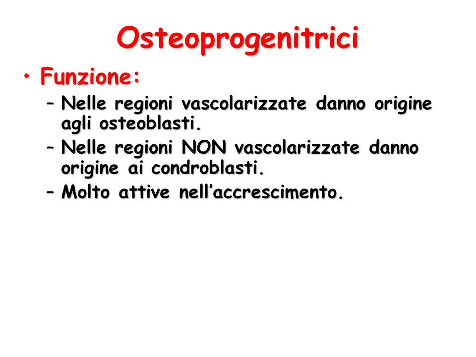 Osteoprogenitrici Funzione:Funzione: –Nelle regioni vascolarizzate danno origine agli osteoblasti. –Nelle regioni NON vascolarizzate danno origine ai