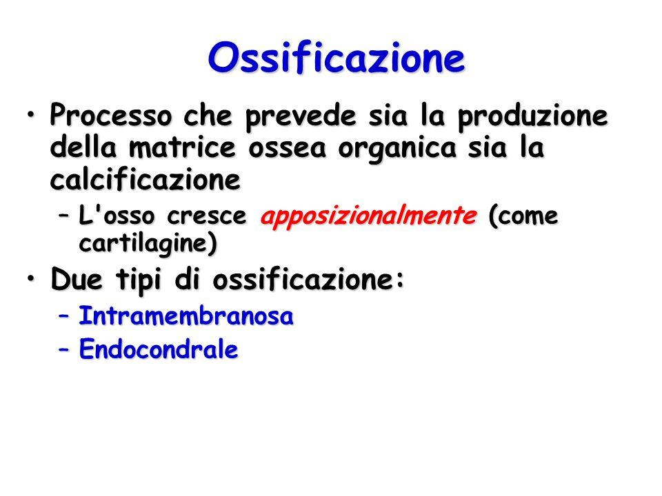 Ossificazione Processo che prevede sia la produzione della matrice ossea organica sia la calcificazioneProcesso che prevede sia la produzione della ma
