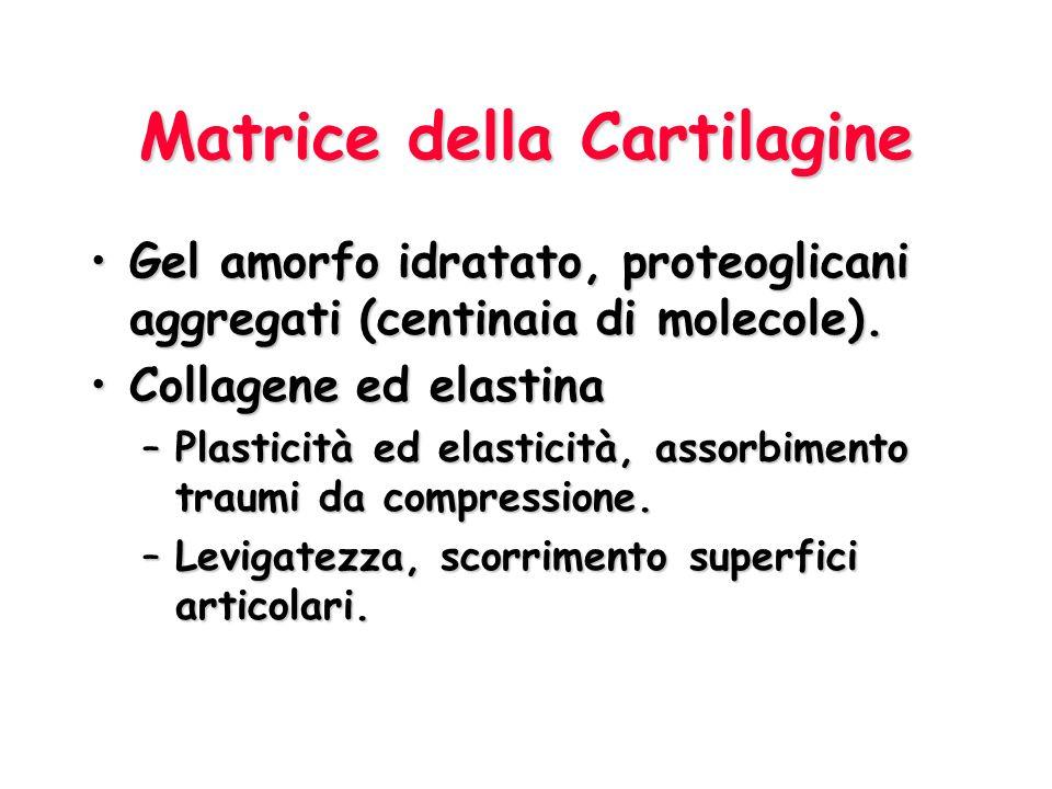 Cellule della Cartilagine CondroblastiCondroblasti –Distribuiti nello strato condrogenico –Producono attivamente la matrice –Evidente nucleolo CondrocitiCondrociti –Sono le cellule mature della cartilagine –Mantengono la matrice –Racchiusi nelle loro lacune –Raggruppate in gruppi isogeni di 2-4 cellule FibroblastiFibroblasti –Nel pericondrio