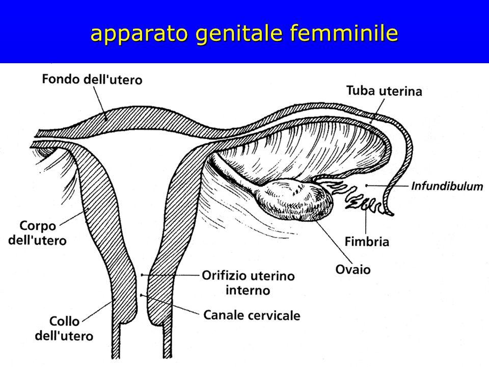 follicoli primordiali in feto di 32 settimane ovocito circondato da un singolo strato di cellule follicolari appiattite