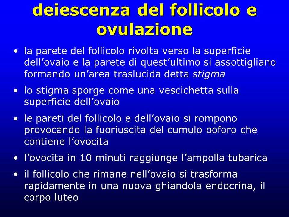 deiescenza del follicolo e ovulazione la parete del follicolo rivolta verso la superficie dell'ovaio e la parete di quest'ultimo si assottigliano formando un'area traslucida detta stigma lo stigma sporge come una vescichetta sulla superficie dell'ovaio le pareti del follicolo e dell'ovaio si rompono provocando la fuoriuscita del cumulo ooforo che contiene l'ovocita l'ovocita in 10 minuti raggiunge l'ampolla tubarica il follicolo che rimane nell'ovaio si trasforma rapidamente in una nuova ghiandola endocrina, il corpo luteo