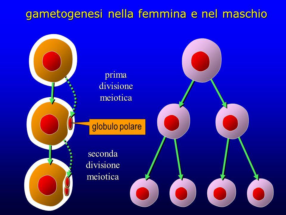 gametogenesi nella femmina e nel maschio 46 cromosomi a doppio cromatide; corredo diploide (4n) 23 cromosomi a doppio cromatide; corredo aploide (2n) 23 cromosomi a singolo cromatide; corredo aploide (1n) ovocita primario (44+XX) spermatocita primario (44+XY) ovocita secondario (22+X) spermatociti secondari (22+X) (22+Y) ovocita maturo (22+X) spermatidi (22+X) spermatidi (22+Y)