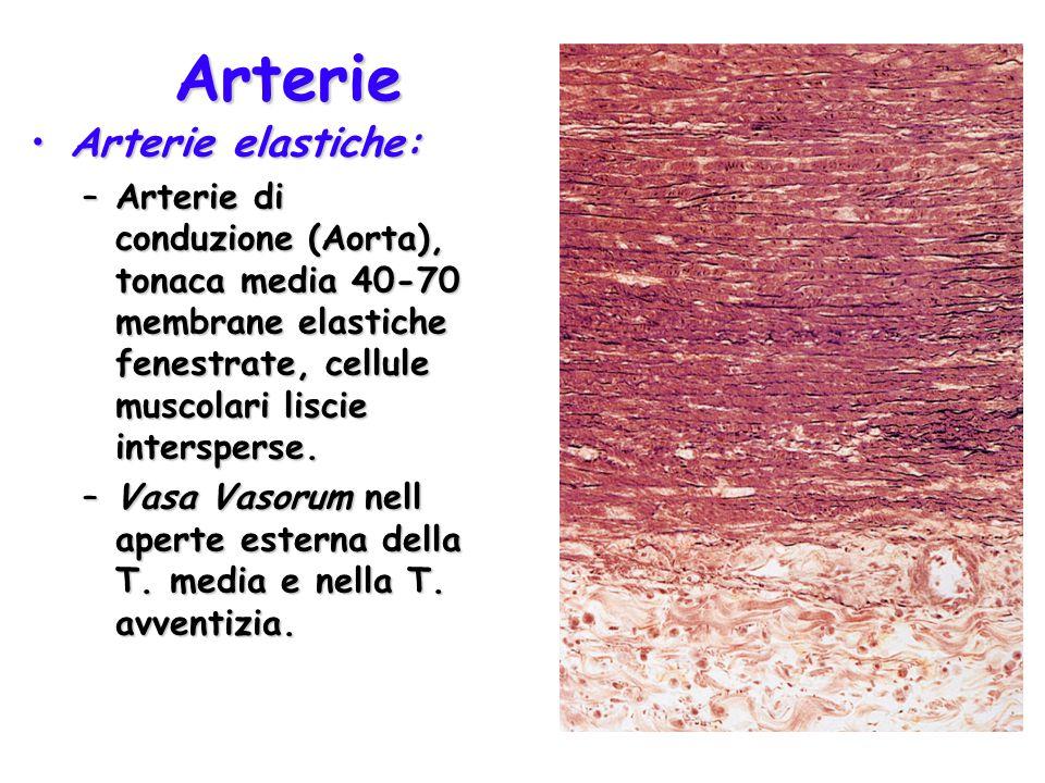 Arterie Arterie elastiche:Arterie elastiche: –Arterie di conduzione (Aorta), tonaca media 40-70 membrane elastiche fenestrate, cellule muscolari liscie intersperse.
