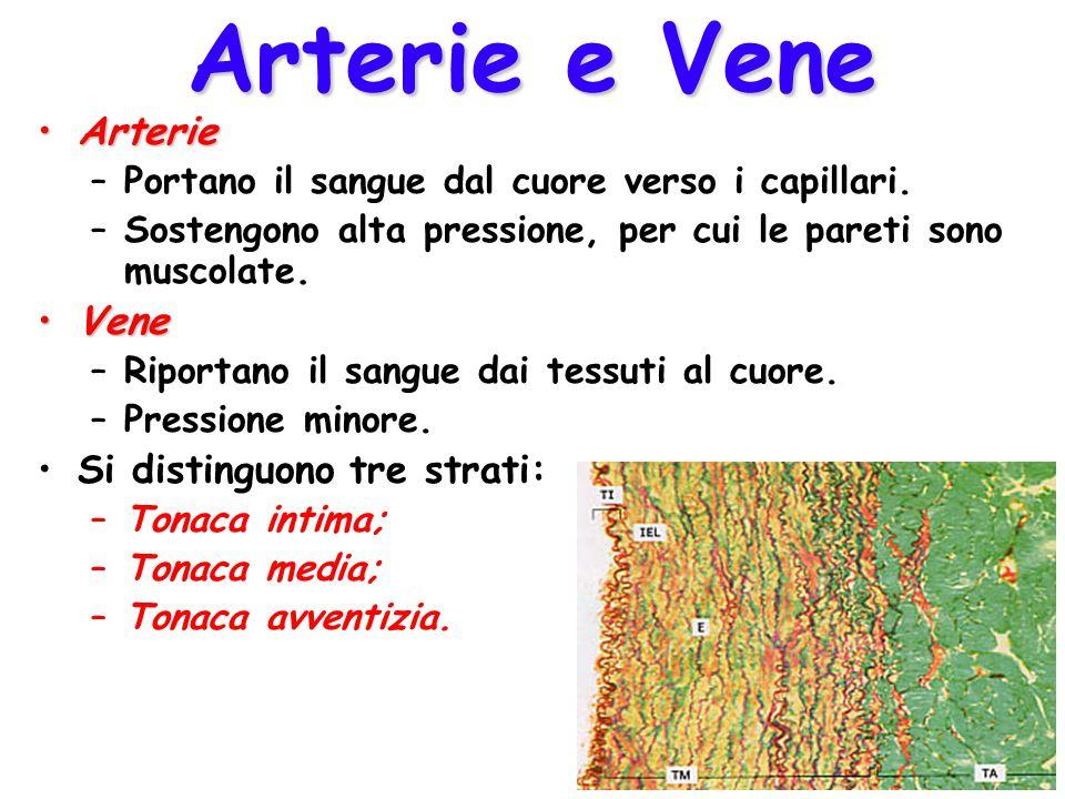 Arterie e Vene ArterieArterie –Portano il sangue dal cuore verso i capillari.