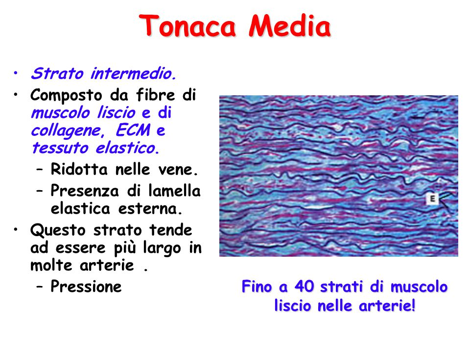 Strato intermedio.Composto da fibre di muscolo liscio e di collagene, ECM e tessuto elastico.