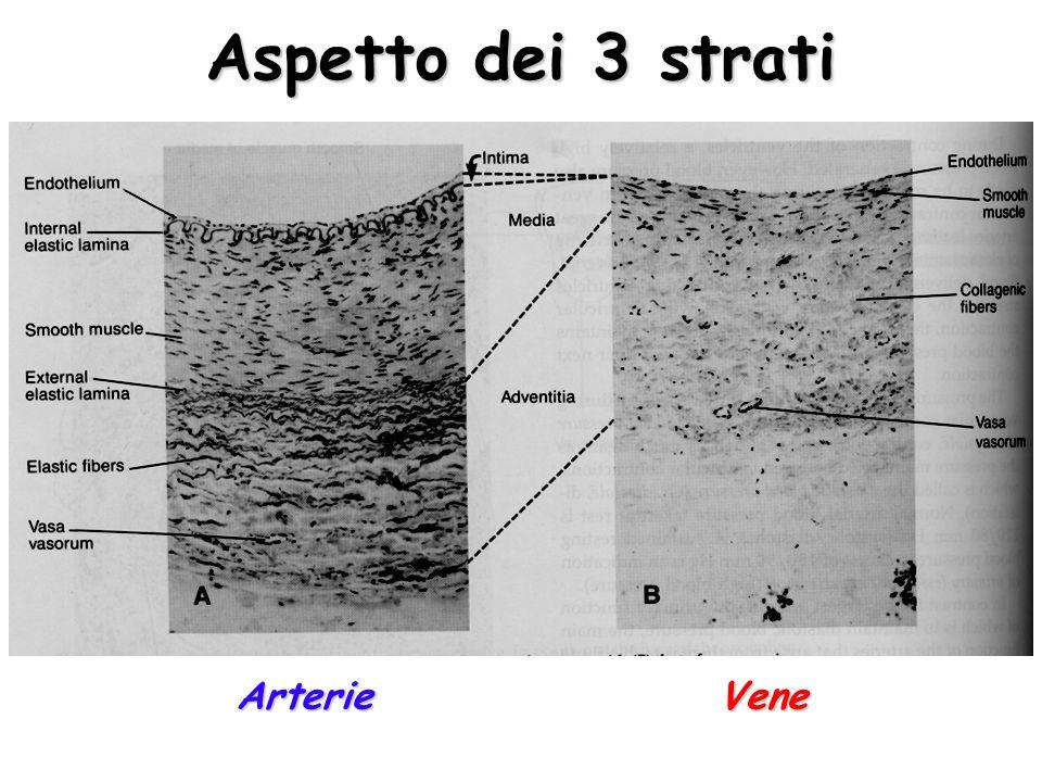 Aspetto dei 3 strati ArterieVene