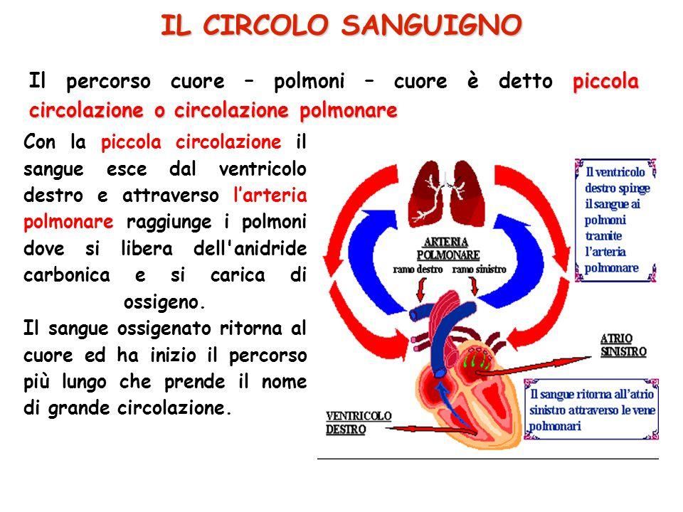 piccola circolazione o circolazione polmonare Il percorso cuore – polmoni – cuore è detto piccola circolazione o circolazione polmonare IL CIRCOLO SAN
