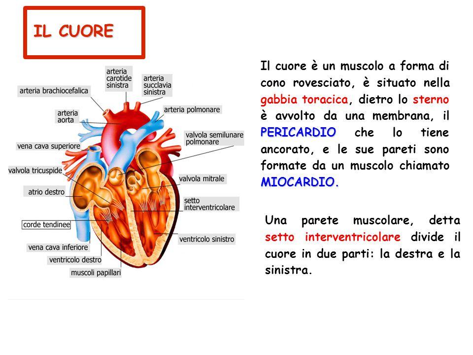 I VASI SANGUIGNI vene Le vene sono vasi che trasportano il sangue carico di anidride carbonica dalla periferia del corpo verso il cuore.