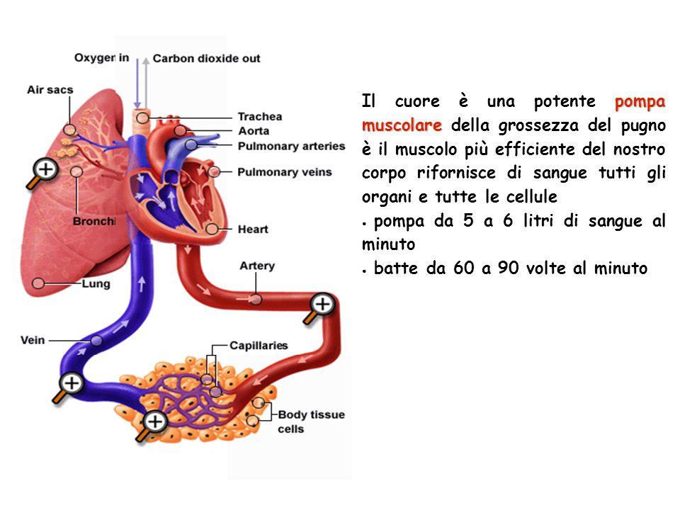 pompa muscolare Il cuore è una potente pompa muscolare della grossezza del pugno è il muscolo più efficiente del nostro corpo rifornisce di sangue tut