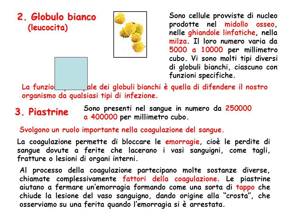3. Piastrine Sono presenti nel sangue in numero da 250000 a 400000 per millimetro cubo. Svolgono un ruolo importante nella coagulazione del sangue. La