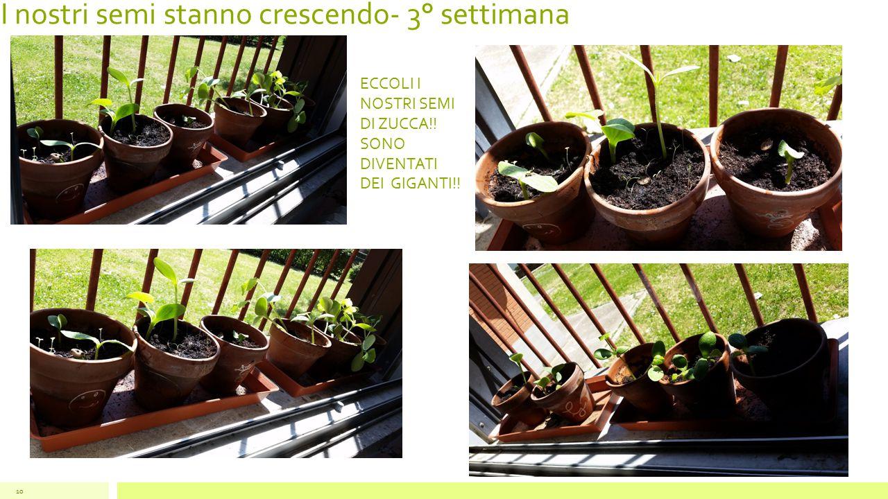 I nostri semi stanno crescendo- 3° settimana 10 ECCOLI I NOSTRI SEMI DI ZUCCA!! SONO DIVENTATI DEI GIGANTI!!