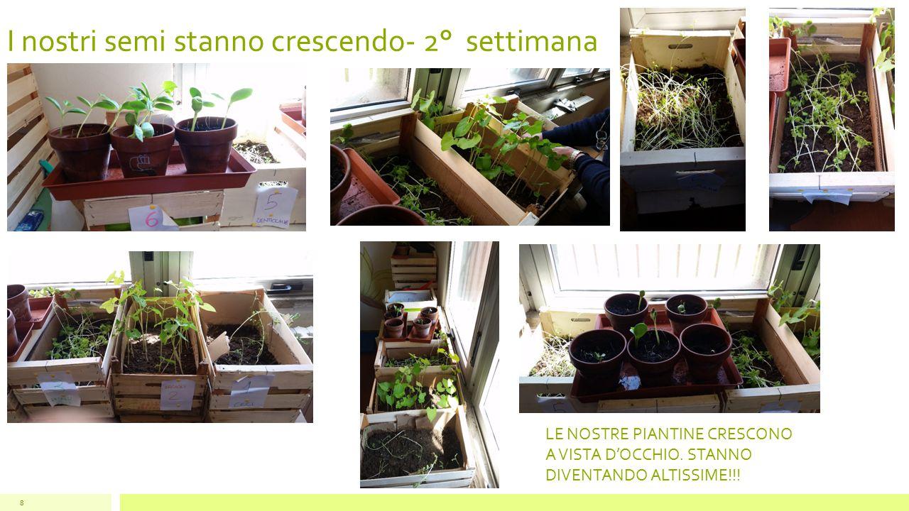 I nostri semi stanno crescendo- 2° settimana 8 LE NOSTRE PIANTINE CRESCONO A VISTA D'OCCHIO. STANNO DIVENTANDO ALTISSIME!!!