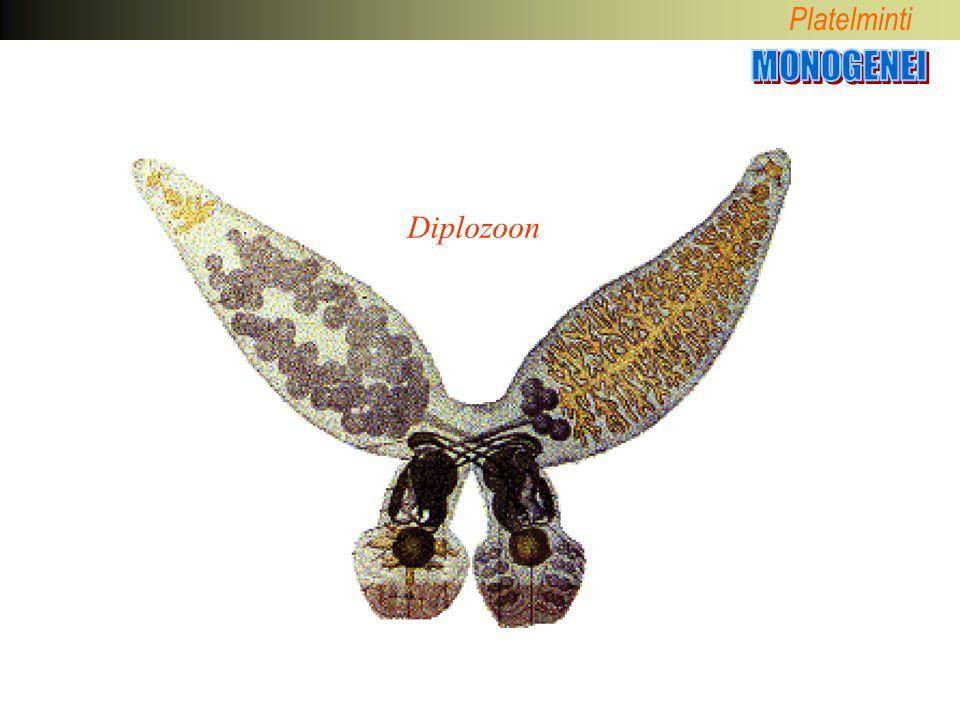 Platelminti Diplozoon