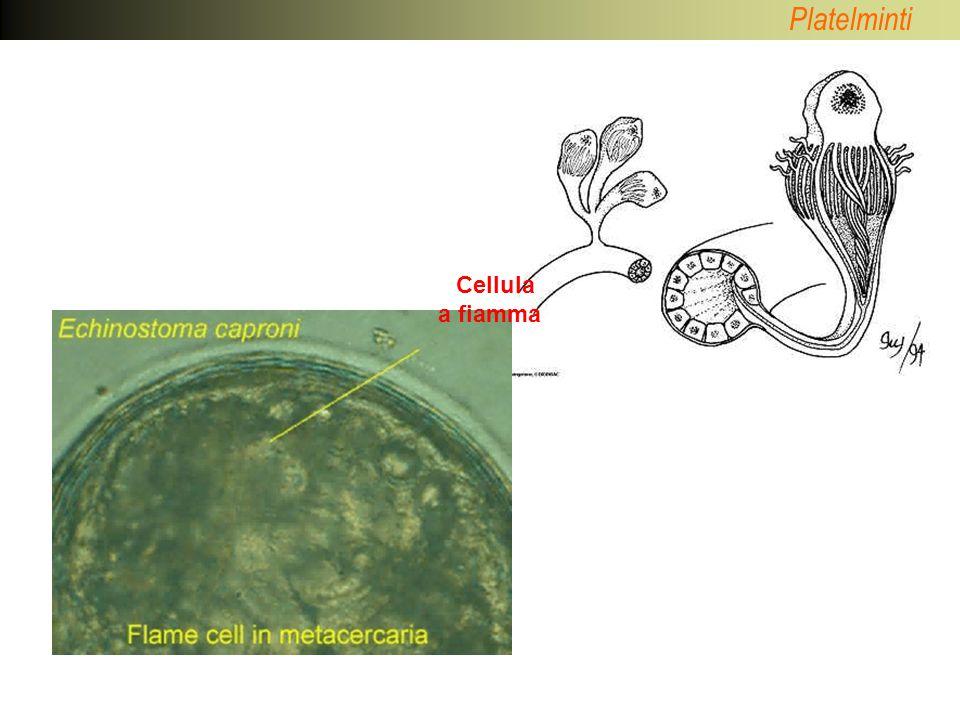 Platelminti Classe: TURBELLARI Classe: TREMATODI Classe: MONOGENEI Classe: CESTODI Phylum: PLATELMINTI
