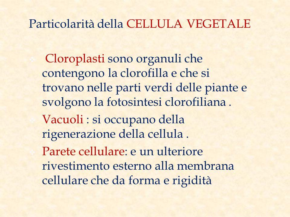 Particolarità della CELLULA VEGETALE  Cloroplasti sono organuli che contengono la clorofilla e che si trovano nelle parti verdi delle piante e svolgono la fotosintesi clorofiliana.