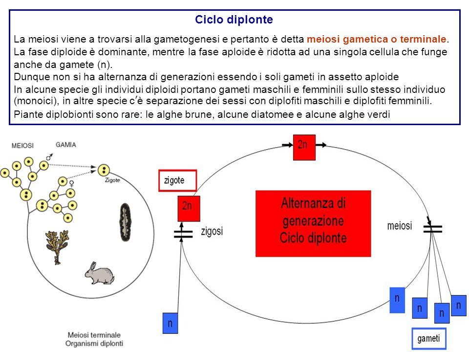 Ciclo diplonte La meiosi viene a trovarsi alla gametogenesi e pertanto è detta meiosi gametica o terminale. La fase diploide è dominante, mentre la fa