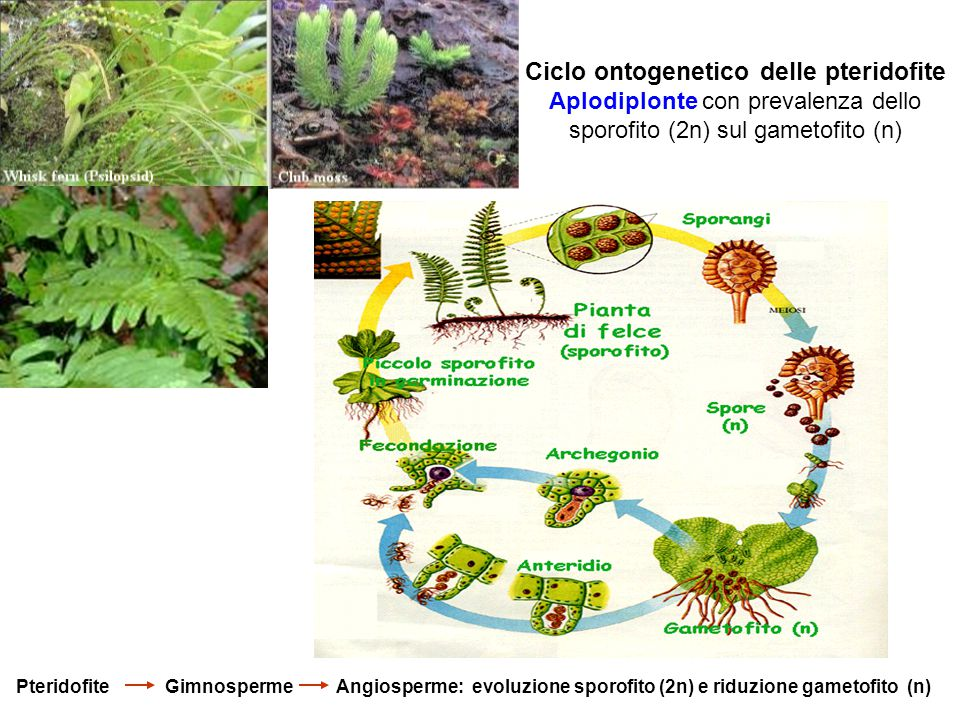 Ciclo ontogenetico delle pteridofite Aplodiplonte con prevalenza dello sporofito (2n) sul gametofito (n) Pteridofite Gimnosperme Angiosperme: evoluzio