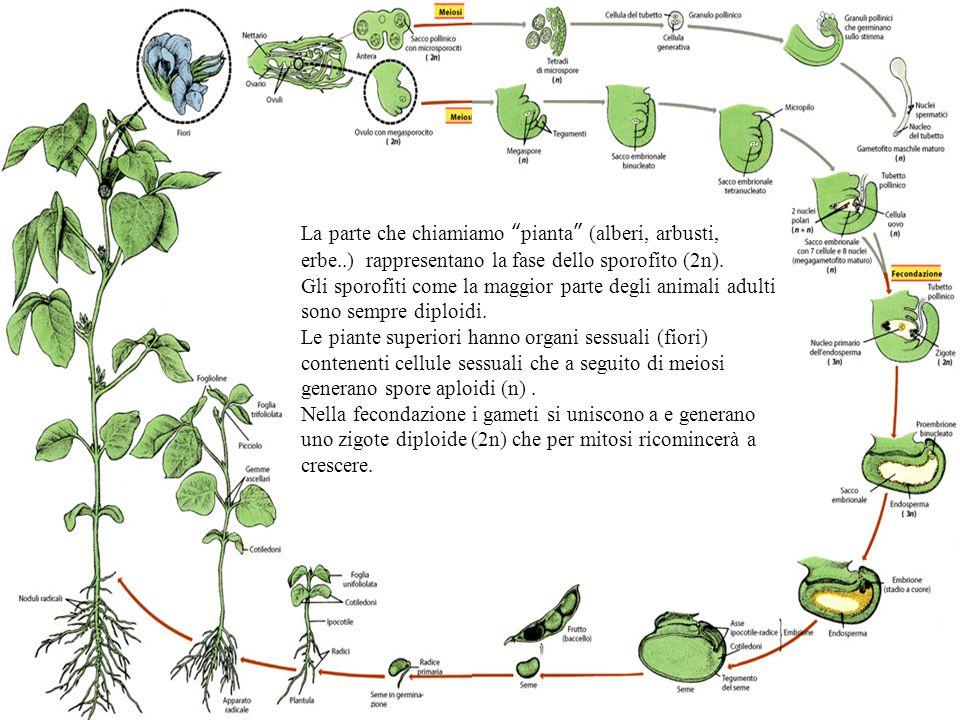 """La parte che chiamiamo """" pianta """" (alberi, arbusti, erbe..) rappresentano la fase dello sporofito (2n). Gli sporofiti come la maggior parte degli anim"""