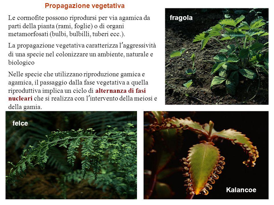 Propagazione vegetativa Le cormofite possono riprodursi per via agamica da parti della pianta (rami, foglie) o di organi metamorfosati (bulbi, bulbill