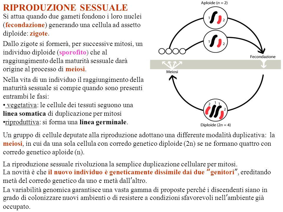 RIPRODUZIONE SESSUALE Un gruppo di cellule deputate alla riproduzione adottano una differente modalità duplicativa: la meiosi, in cui da una sola cell