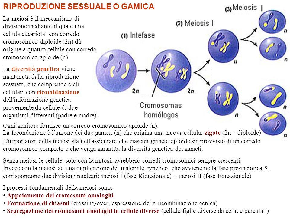 Cromosomi omologhi Ogni genitore fornisce un corredo cromosomico aploide (n). La fecondazione è l ' unione dei due gameti (n) che origina una nuova ce