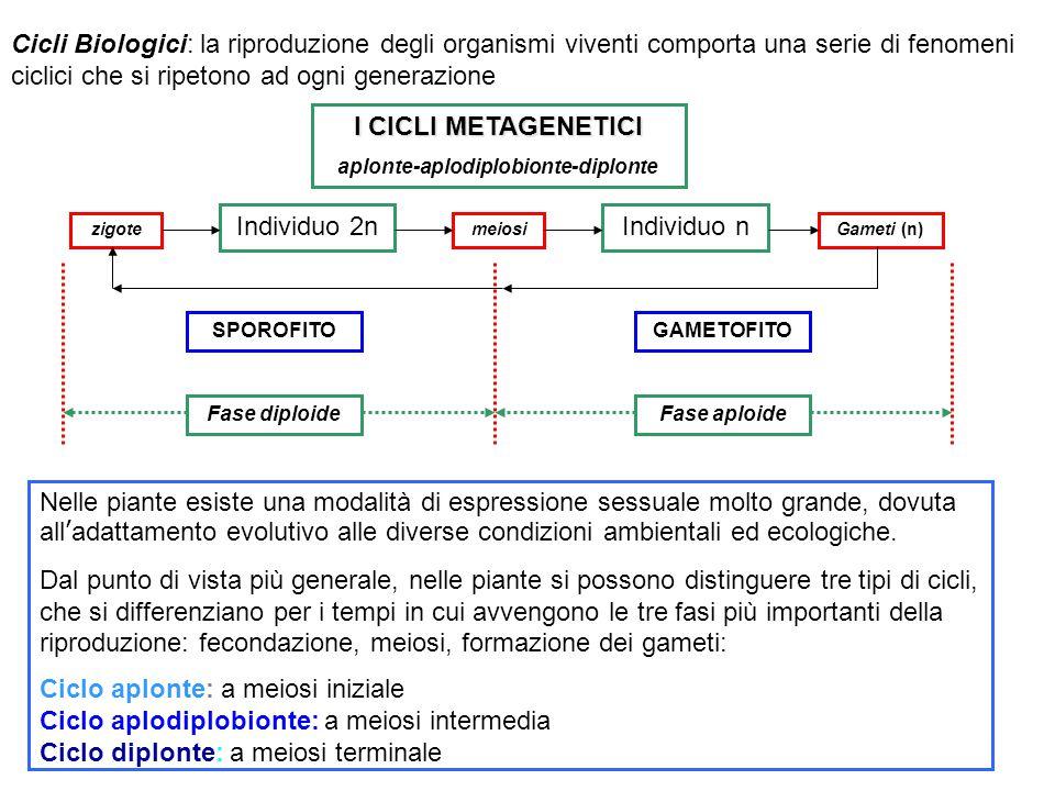Individuo 2nIndividuo n GAMETOFITOSPOROFITO zigotemeiosiGameti (n) Fase aploideFase diploide I CICLI METAGENETICI aplonte-aplodiplobionte-diplonte Cic