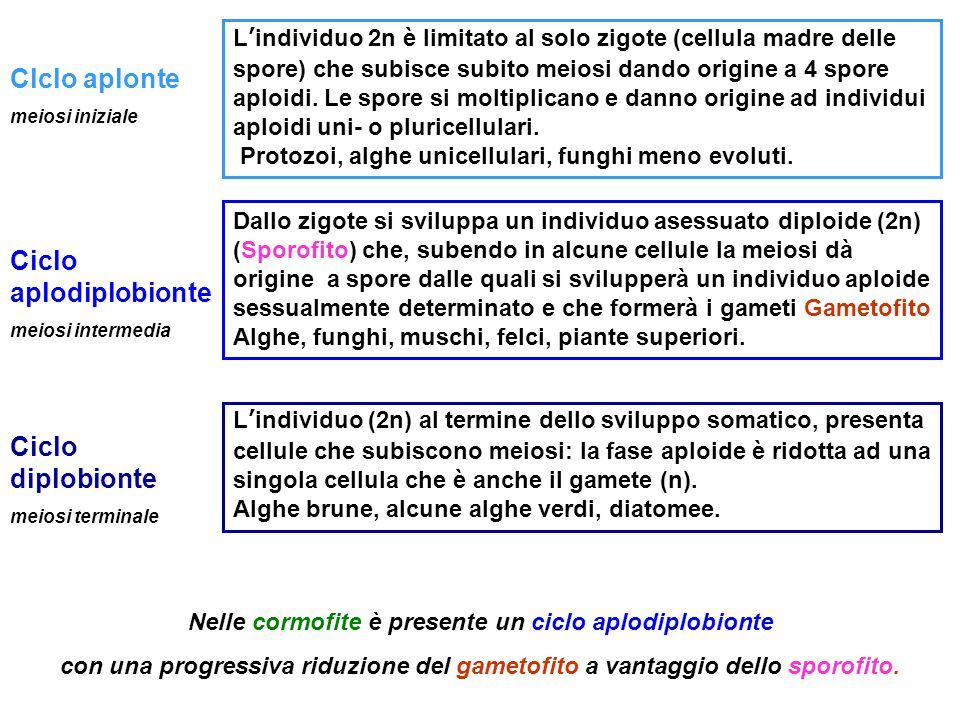 Clclo aplonte meiosi iniziale L'individuo 2n è limitato al solo zigote (cellula madre delle spore) che subisce subito meiosi dando origine a 4 spore a