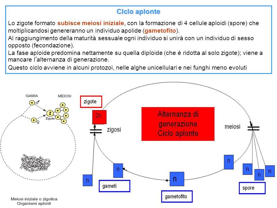Clclo aplonte Lo zigote formato subisce meiosi iniziale, con la formazione di 4 cellule aploidi (spore) che moltiplicandosi genereranno un individuo a