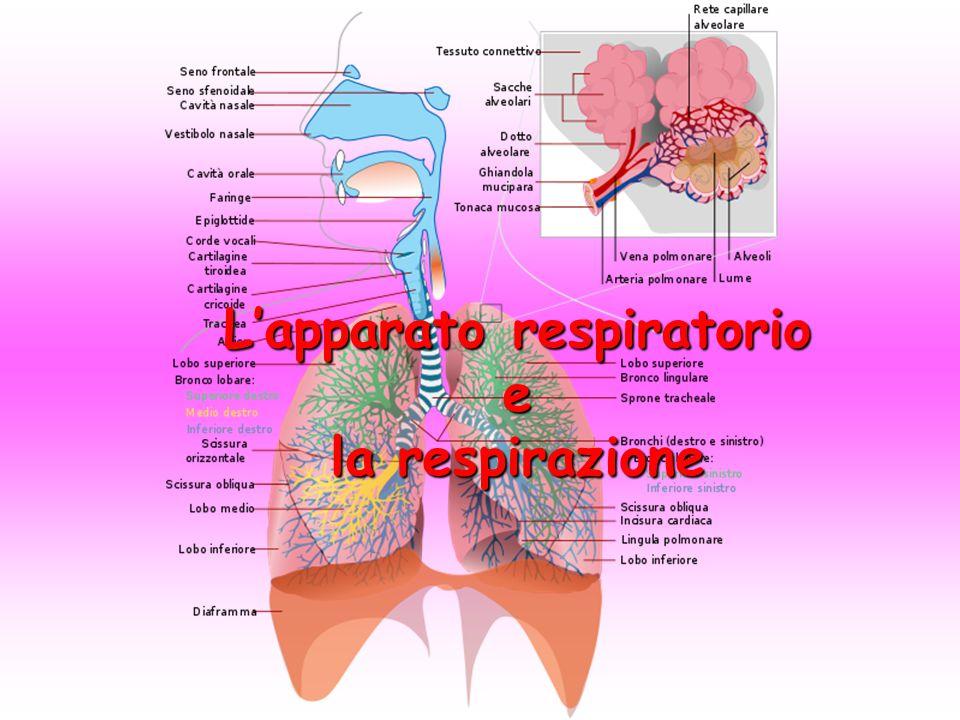 La respirazione Per vivere ogni cellula ha bisogno di energia:la produzione di energia avviene nei mitocondri, dove si svolge la respirazione cellulare.Per vivere ogni cellula ha bisogno di energia:la produzione di energia avviene nei mitocondri, dove si svolge la respirazione cellulare.