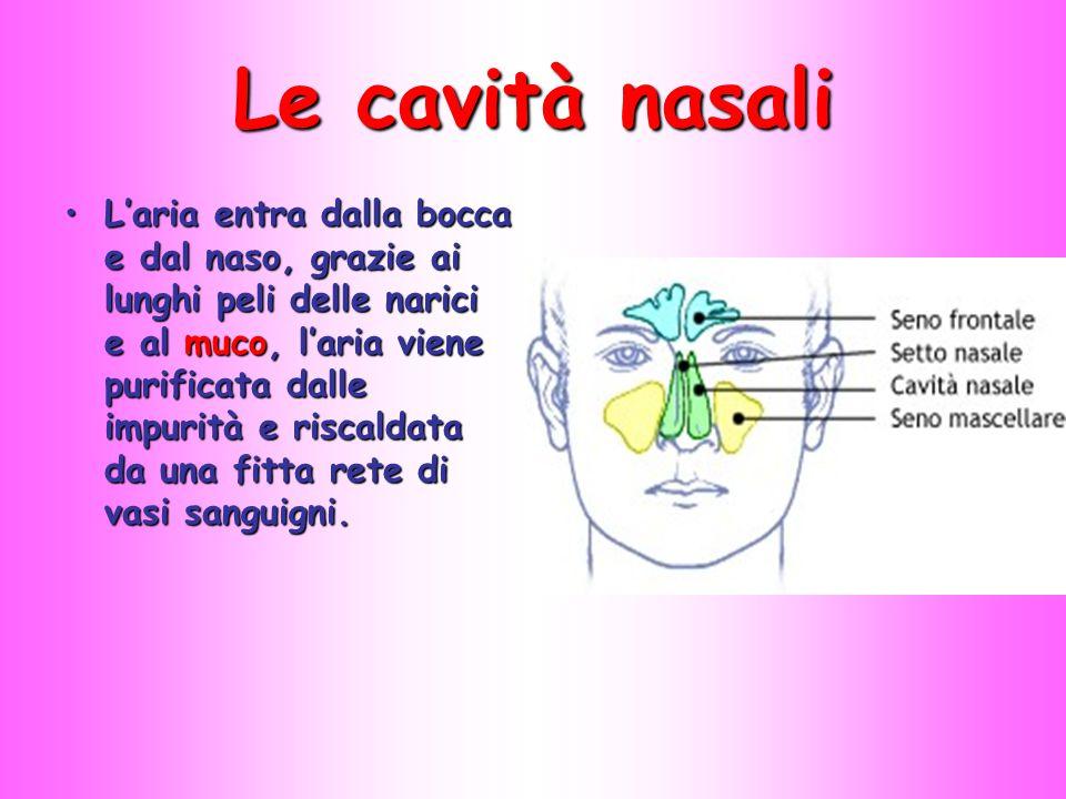 Le cavità nasali L'aria entra dalla bocca e dal naso, grazie ai lunghi peli delle narici e al muco, l'aria viene purificata dalle impurità e riscaldat