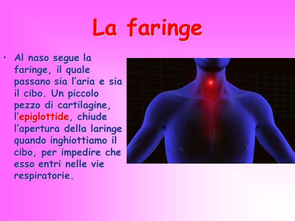 La faringe Al naso segue la faringe, il quale passano sia l'aria e sia il cibo. Un piccolo pezzo di cartilagine, l'epiglottide, chiude l'apertura dell