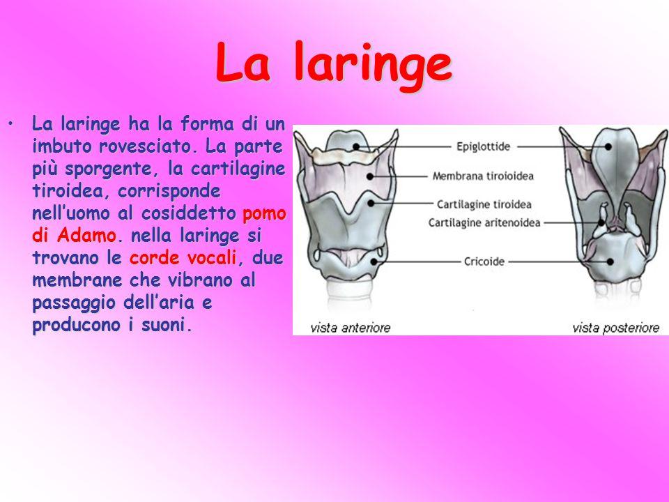 La laringe La laringe ha la forma di un imbuto rovesciato. La parte più sporgente, la cartilagine tiroidea, corrisponde nell'uomo al cosiddetto pomo d