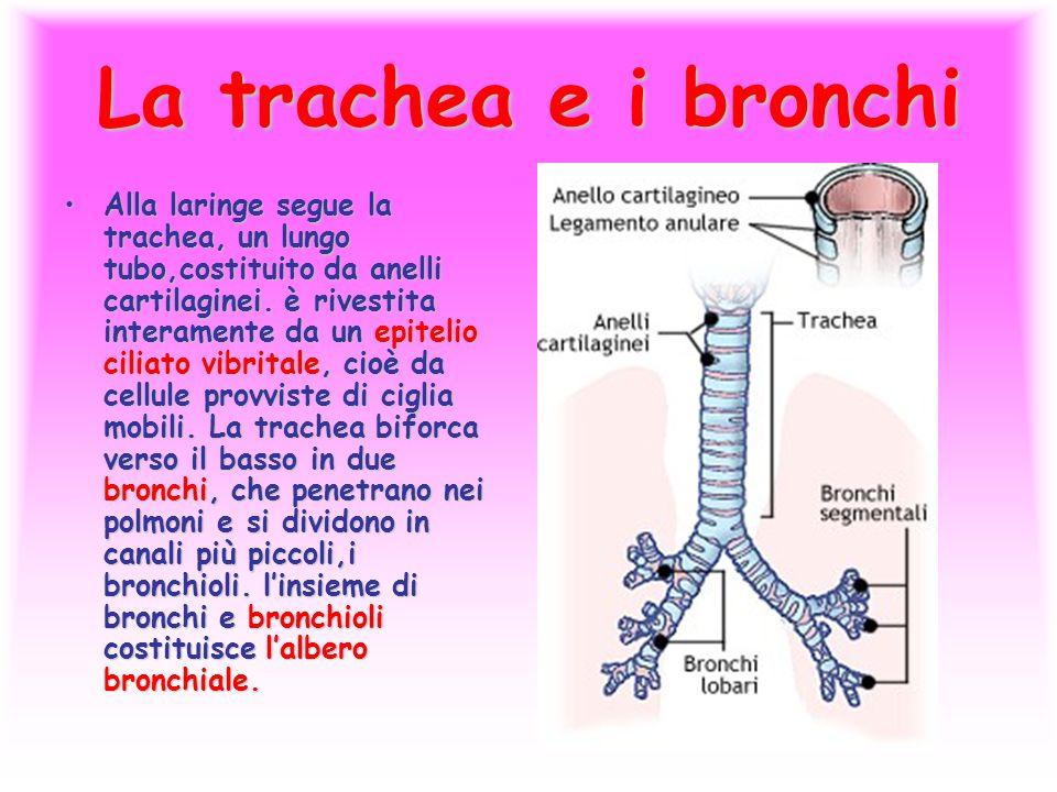 La trachea e i bronchi Alla laringe segue la trachea, un lungo tubo,costituito da anelli cartilaginei. è rivestita interamente da un epitelio ciliato