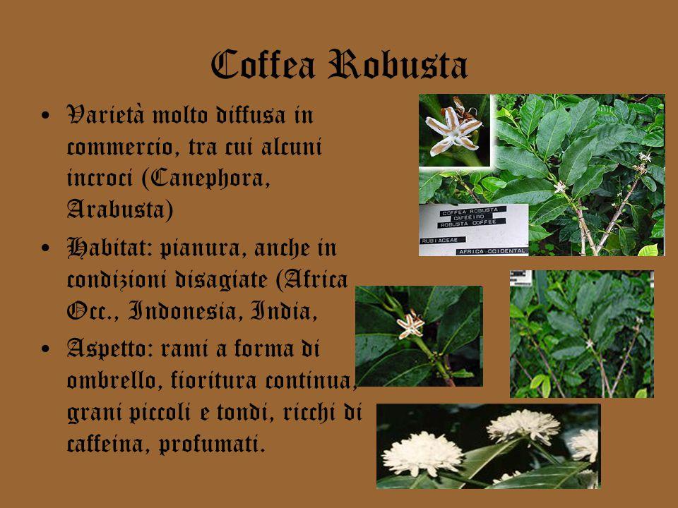 Coffea Robusta Varietà molto diffusa in commercio, tra cui alcuni incroci (Canephora, Arabusta) Habitat: pianura, anche in condizioni disagiate (Africa Occ., Indonesia, India, Aspetto: rami a forma di ombrello, fioritura continua, grani piccoli e tondi, ricchi di caffeina, profumati.